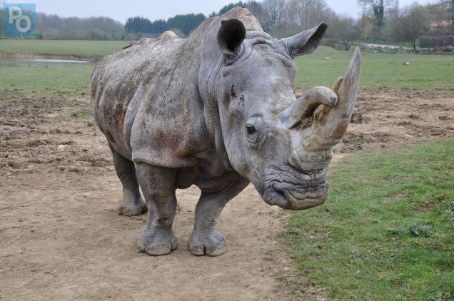 Sana, la plus vieille femelle rhinocéros d'Europe a 52 ans.